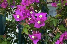 صور الزهور الجهنمية